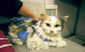 Помощь. Это кошка-реципиент. Больной Миле доноры Дуся и Вася из «Кошкина дома» уже два раза сдавали кровь