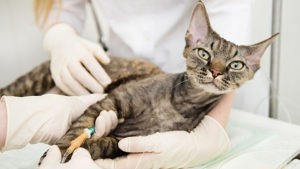 veterinarian provides medical care to the sick cat
